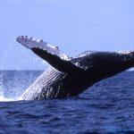 【捕鯨問題】シーシェパード(SS)と日本が和解に至った理由wwwwww(画像あり)