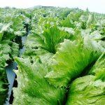 【年収すげえ】レタス農家ワイの今年の収入www台風のおかげでwwwwww