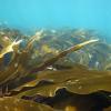 【愕然】昆布が海の中でダシ出ない理由wwwwwwwww