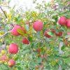 【収入】ワイ、リンゴ農園の経営者の年収wwwこれはやめられんわwwwwwww