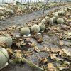 メロン農家「寺坂農園」に農薬散布した犯人…ヤバすぎだろ…(画像あり)