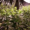 【衝撃】大麻使用を許可した結果wwwwwwwww→