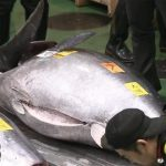 【衝撃】マグロ3億3360万円落札で漁師に入る金額がこちらwwwww