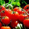 【クズ】無人販売場からかっぱらったトマトを食べた結果wwwwwww