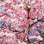 【民度0】大阪民さん、花見宴会禁止令にブチ切れwwwwwwww