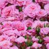 【悲報】鳩山由紀夫さん「薔薇の写真、パシャッ!」 自粛警察「!!!」シュバババババッ→ (画像あり)