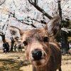 【驚愕】緊急事態宣言後の奈良公園の映像が「まるで桃源郷のよう」と話題に……(画像あり)