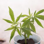 【新型コロナ】大麻、ガチで凄いwwwwwwwwwww
